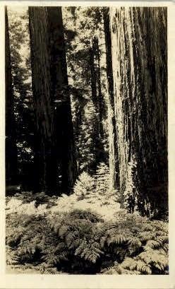 Redwood - MIsc, California CA Postcard
