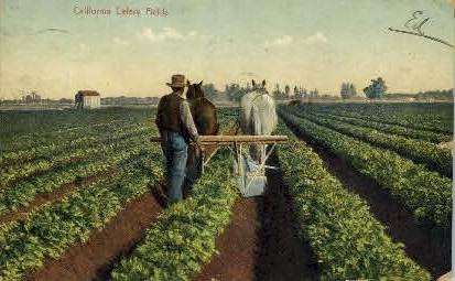 California Celery Fields - MIsc Postcard