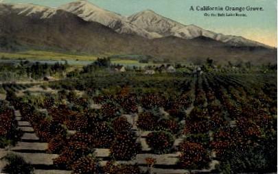 A California Orange Grove - MIsc Postcard
