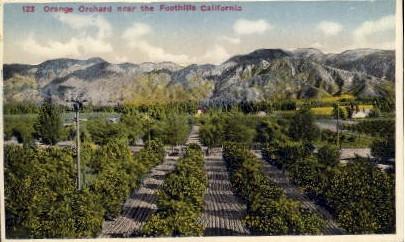 Orange Orchard near the Foothills - MIsc, California CA Postcard