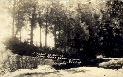 Young Trees Growing from Old Log - MIsc, California CA Postcard
