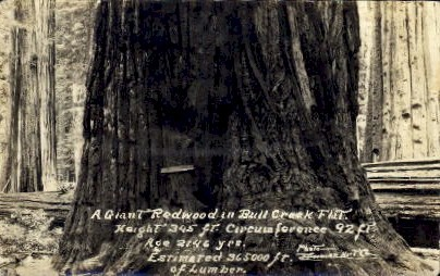 A Giant Redwood in Bull Creek Flat - MIsc, California CA Postcard