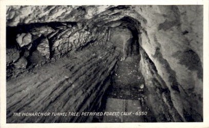 Tunnel Tree, Petrified Forest - MIsc, California CA Postcard