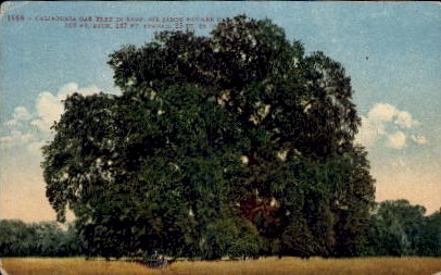 California Oak Tree in Leaf - MIsc Postcard