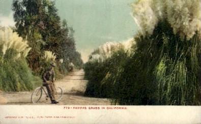 Pampas Grass in California - MIsc Postcard