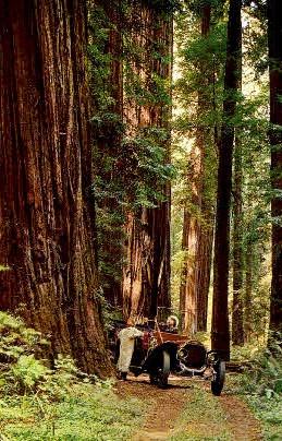 California Redwoods  - MIsc Postcard