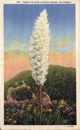Yucca Palm or Spanish Dagger - MIsc, California CA Postcard