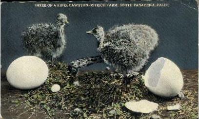 Three of a Kind, Cawston Ostrich Farm - Pasadena, California CA Postcard