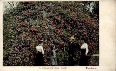 A California Rose Bush - Pasadena Postcard