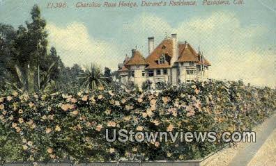 Cherokee Rose Hedge - Pasadena, California CA Postcard