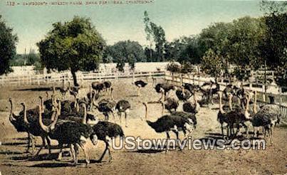 Cawston Ostrich Farm - Pasadena, California CA Postcard