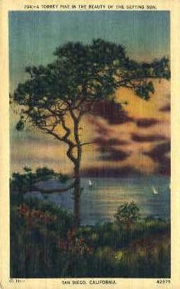 A Torrey Pine - San Diego, California CA Postcard