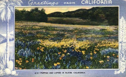 Poppies and Lupine in Bloom - MIsc, California CA Postcard