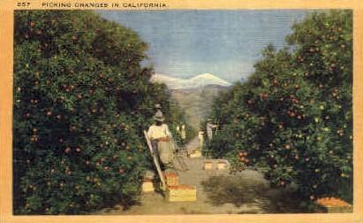 Picking Oranges in California - MIsc Postcard