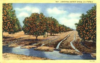 Irrigated Orange Grove - MIsc, California CA Postcard