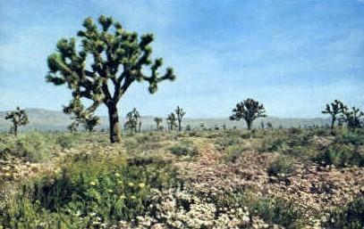 Springtime in the Mojave Desert - MIsc, California CA Postcard