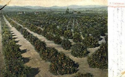 An Orange Grove - MIsc, California CA Postcard