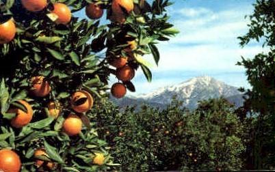 Oranges and Snow - MIsc, California CA Postcard