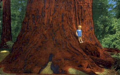 Father of the Forest - Big Basin, California CA Postcard