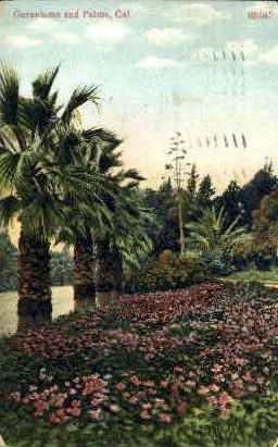 Geraniums & Palms - MIsc, California CA Postcard