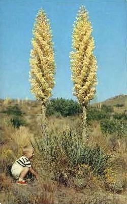 California Yucca in Bloom - MIsc Postcard