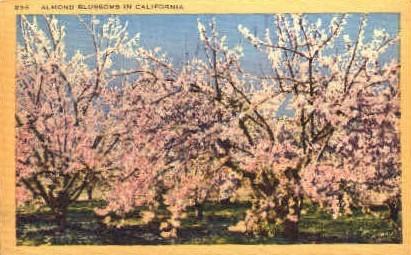 Almond Blossoms in California - MIsc Postcard