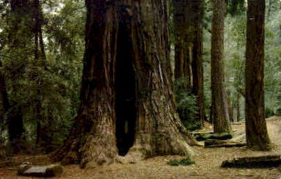 Mother of the Forest - Big Basin, California CA Postcard