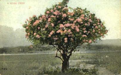 A Rose Tree - MIsc, California CA Postcard