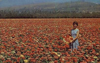 Giant Zinnias Growing - MIsc, California CA Postcard