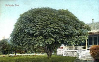Umbrella Tree - MIsc, California CA Postcard
