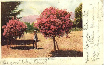 California Rose Bushes - MIsc Postcard