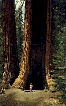 Hollow Tree - MIsc, California CA Postcard