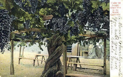 The Largest Grape Vine in the World - MIsc, California CA Postcard