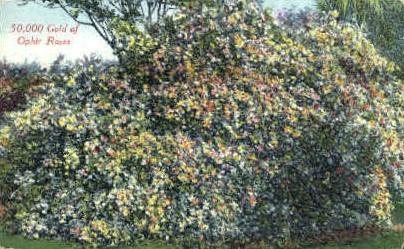Ophir Roses - MIsc, California CA Postcard