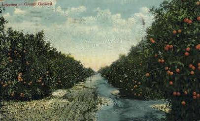 Irrigating an Orange Orchard - MIsc, California CA Postcard