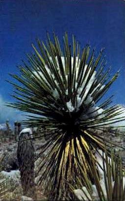 Snow Capped Joshua Tree - MIsc, California CA Postcard