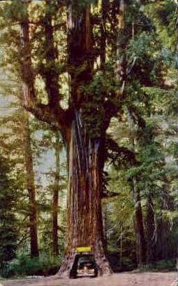 Chandelier Drive Thru Tree - MIsc, California CA Postcard