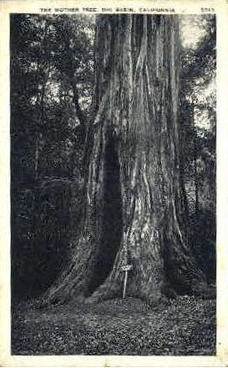 The Mother Tree - Big Basin, California CA Postcard