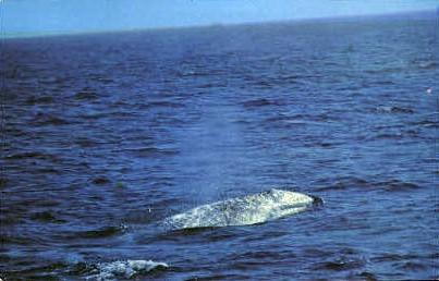 California Gray Whale - MIsc Postcard