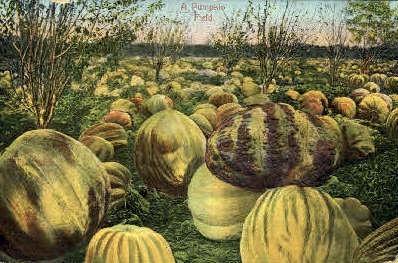 Pumpkin Field - MIsc, California CA Postcard