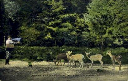 Calling Wild Deer to Feed - Big Basin, California CA Postcard