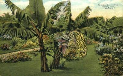 Banana Tree - MIsc, California CA Postcard
