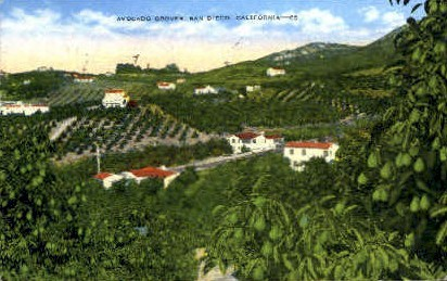 Avacado Groves - San Diego, California CA Postcard