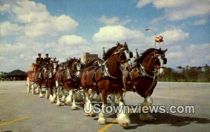 Clydesdale 8-Horse Team - Los Angeles, California CA Postcard