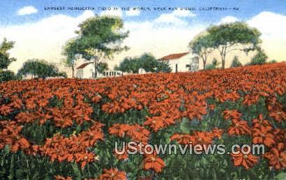 Poinsettias - San Diego, California CA Postcard