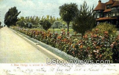 Rose Hedge - Los Angeles, California CA Postcard