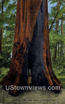 Chimney Tree - Big Basin, California CA Postcard