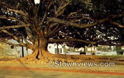Moreton Bay Fig Tree - Santa Barbara, California CA Postcard