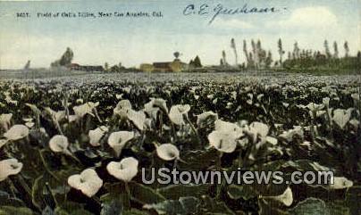 Calla Lilies - Los Angeles, California CA Postcard