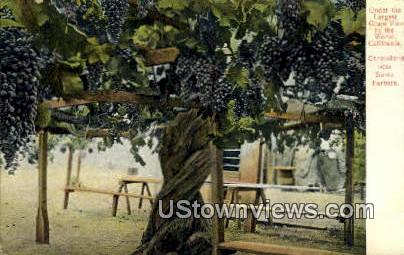 Grape Vine - Santa Barbara, California CA Postcard
